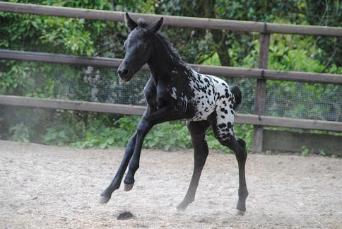 Paarden te Koop Nederland Paarden Appaloosa te Koop